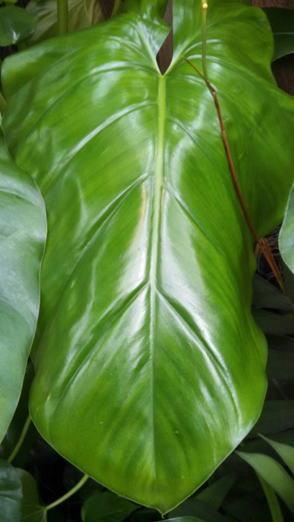 Large green leaf at Como Park Conservatory, April 2016, photo by Mary Warner.