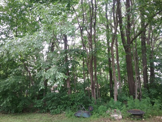 The forest of Chinese elms in our yard, 2019.