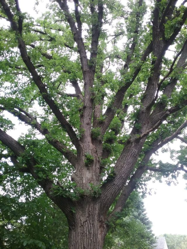 One of the mature oak trees in our yard, 2019.