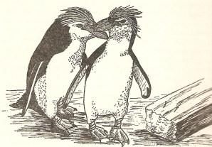 A pair of Royal Penguins