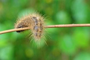 White ermine moth larva