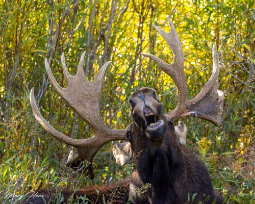 comedy wildlife photography awards finalist, singing moose
