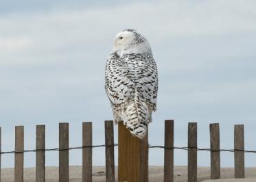 Snowy Owl, courtesy of the Assateague Island National Seashore