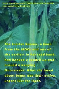 scarlet runner