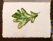 Oak Leaf, watercolor