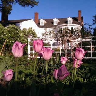 pink tulips at Stevens Collidge-Place