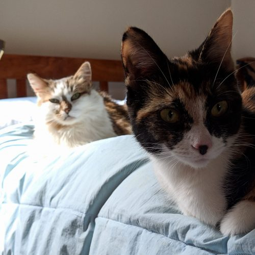 Adult floofy cat lounging in background behind calico kitten