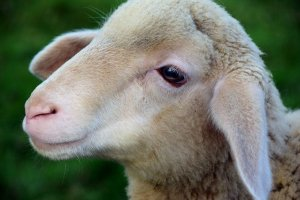Image de rêve agneau