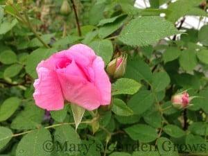Morden Pink Rose - 7/9/2013