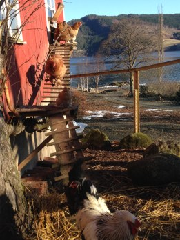 Hanefar geleider galant flokken sin ut i vårsola