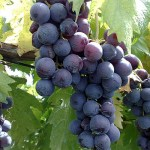 Romé, la uva ancestral