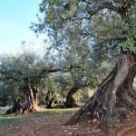 Aceite de oliva Único de Mondrón: el AOVE fenicio