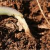 ヒアリ日本に定着で実害はある?生態系や農作物に影響で野菜が高くなる?