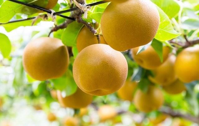 Наши. Nashi (梨). Японская груша