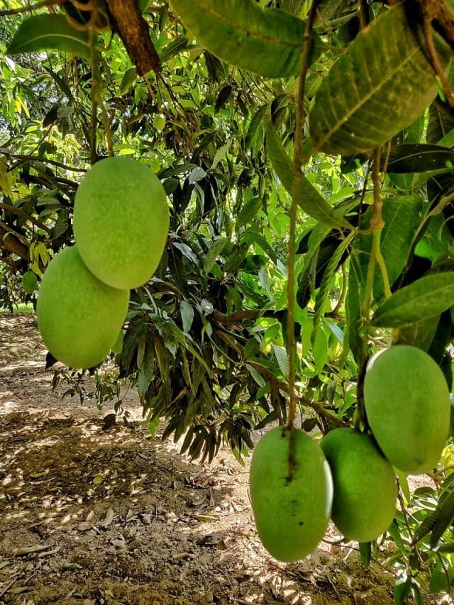 Mango_Tree_in_my_parent's_garden