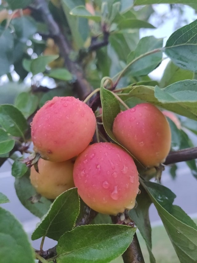Luscious_peaches_in_a_hotel_I_stayed,_in_the_Austrian_countryside