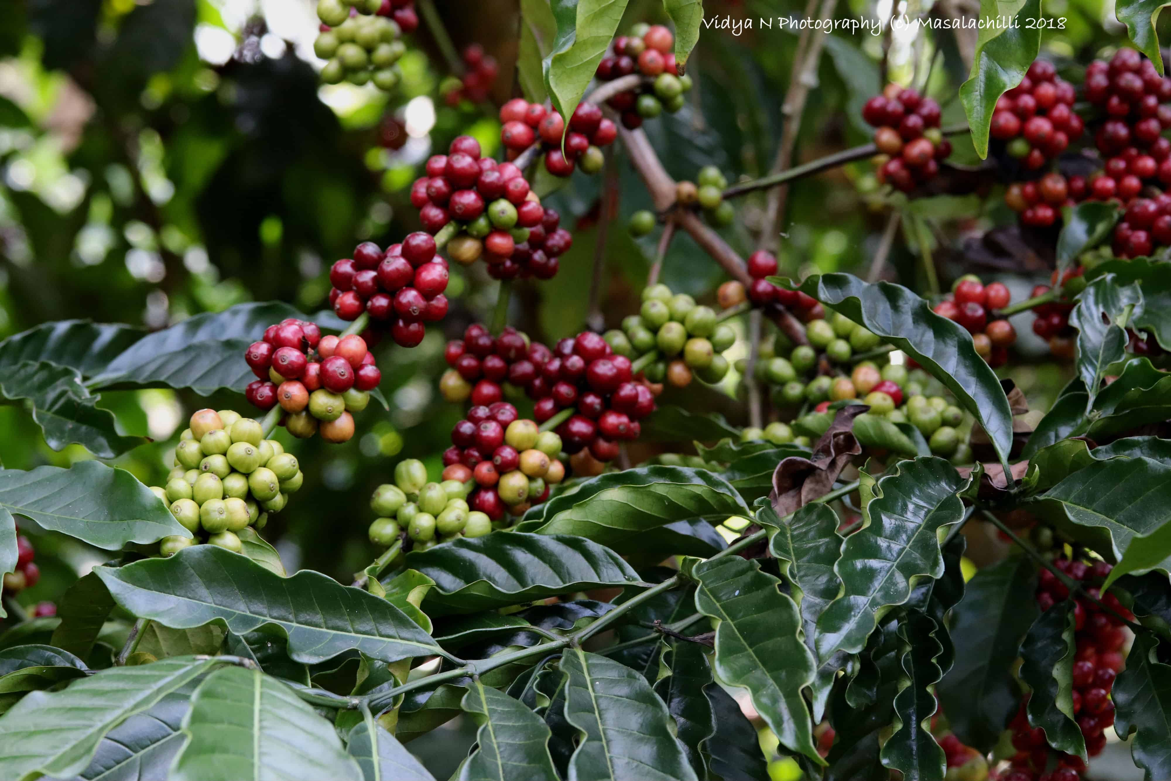 Coffee Plantation Tour at Coorg