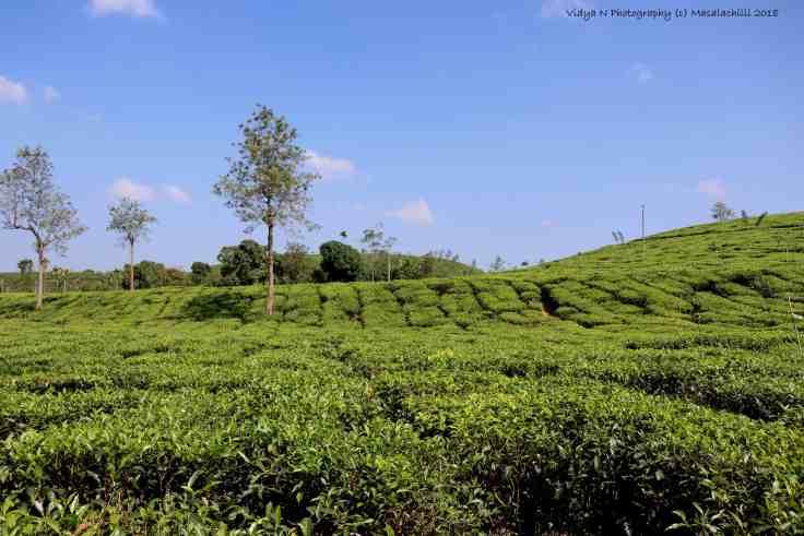 Tea Estate .jpg