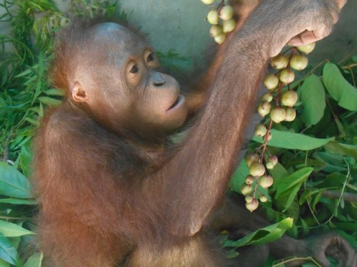 Here Chris is already at the Sintang Orangutan Center and enjoying her first lessons in wild jungle fruit. She is not sure yet about this delicious Baccaurea fruit . If all goes well she should be on her way to forest school soon.