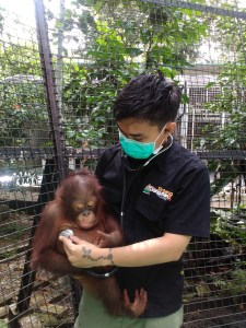 Dr Jati caring for one of the orphan baby orangutans.