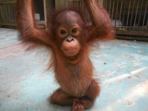 Figure: Baby orangutan Aming, the second new arrival this month