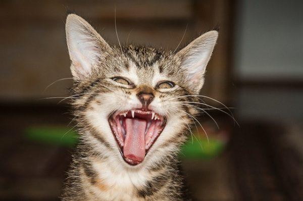 親知らずを見せているような猫