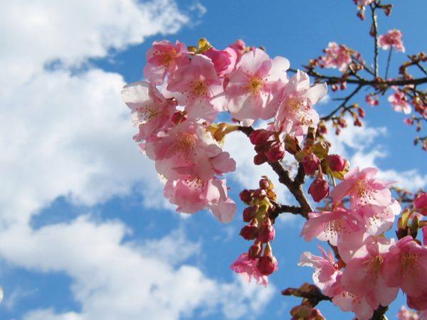 青空をバックにした見頃の河津桜