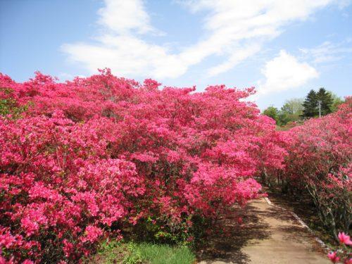 小室山公園のつつじの花々