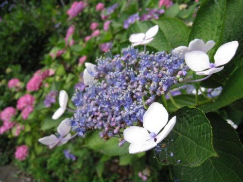 白い花をたくわえた下田公園のあじさい