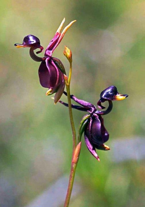 Bunga Bebek Terbang