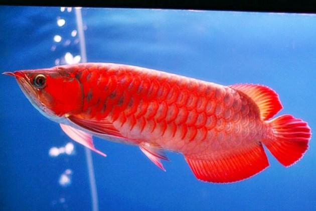 Jenis ikan hias air tawar aquarium arwana