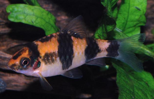 ikan hais air tawar arulius barb mirip ikan koi