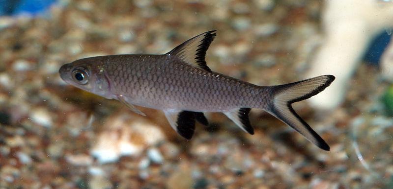 Jenis Ikan Hias Air Tawar Aquarium Ikan Bala-bala-hiu bala