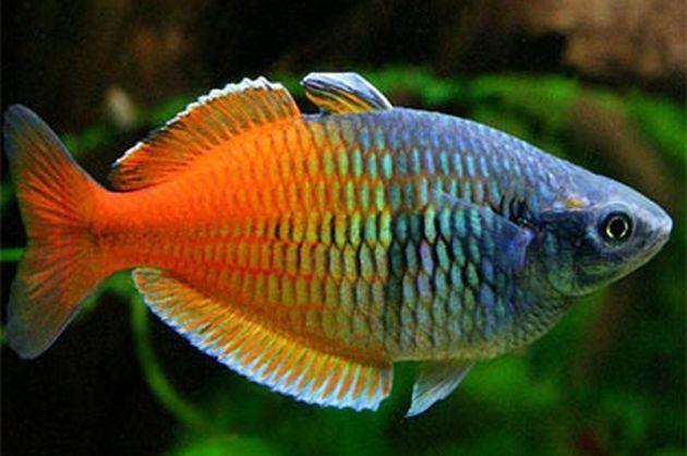 Jenis Ikan Hias Air Tawar Aquarium ikan warna pelangi rainbows