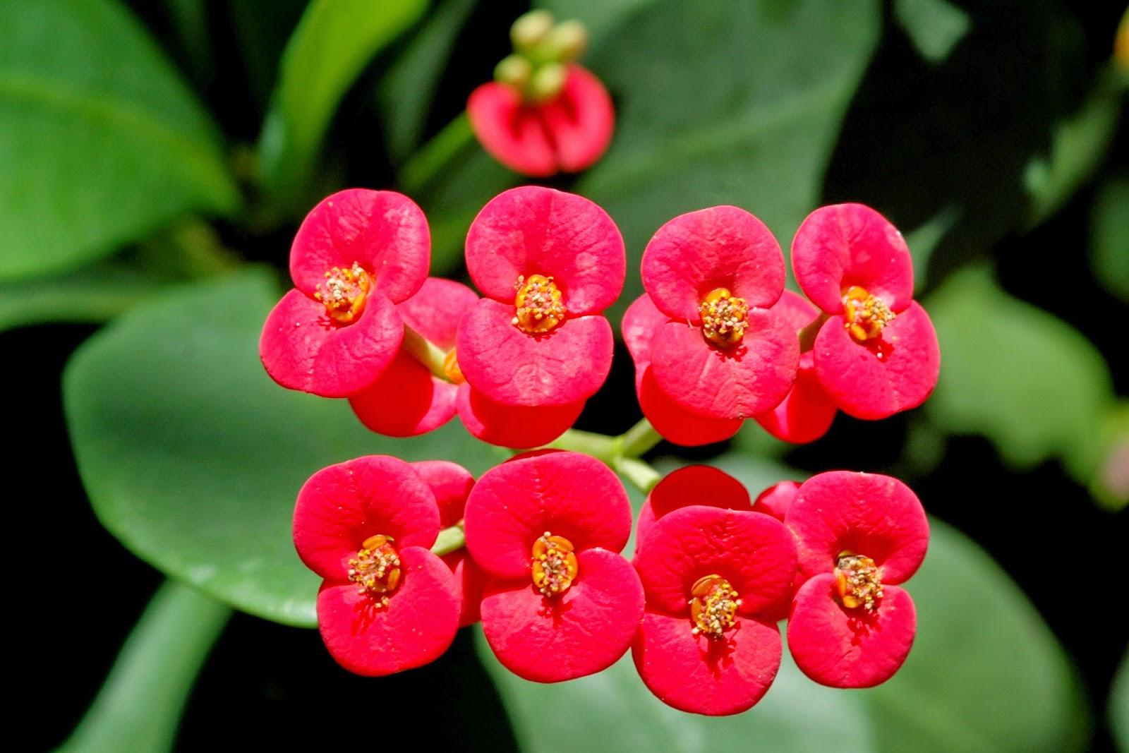 manfaat bunga eforbia dalam kesehatan
