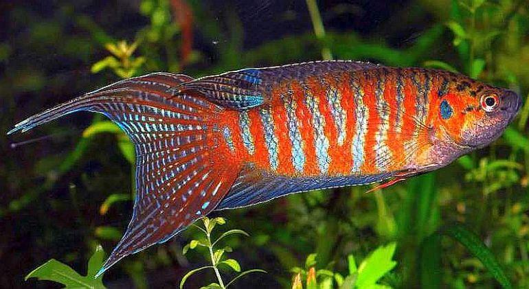 Jenis Ikan Hias Air Tawar Aquarium Ikan paradise indah
