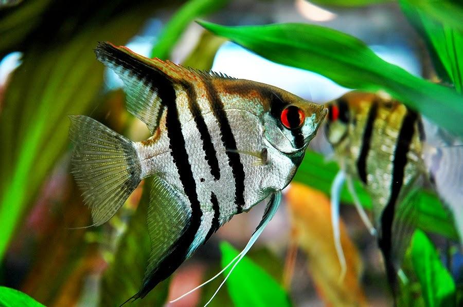 Jenis Ikan Hias Air Tawar Aquarium Ikan indah dan menarik manfish