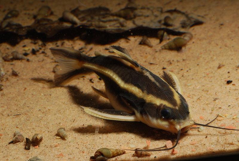 ikan-hias air tawar-striped-raphael