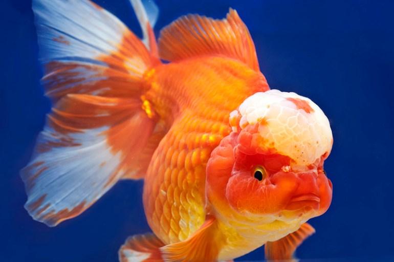 Jenis Ikan Hias Air Tawar Aquarium: Masskoki Cantik Warna Orange