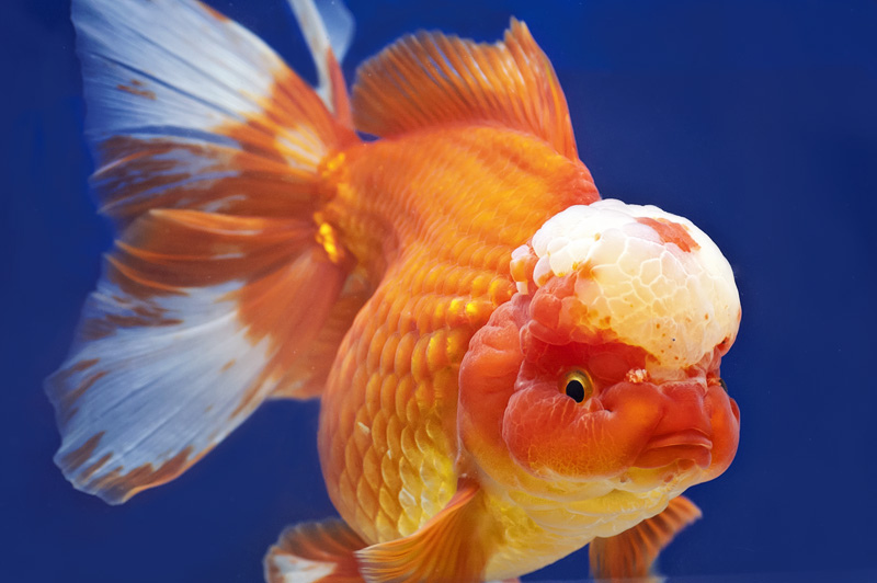 Jenis Ikan Hias Air Tawar Aquarium: Masskoki Cantik Warna Orange