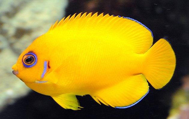 Jenis Ikan Hias Air Tawar Aquarium ikan lemon warna yang indah