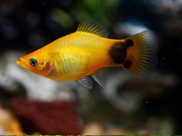 Jenis Ikan Hias Air Tawar Aquarium: Ikan lucu mickey mouse