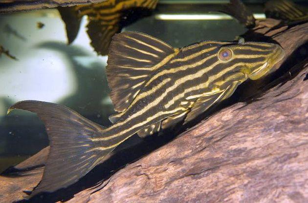 ikan hias air tawar panaque