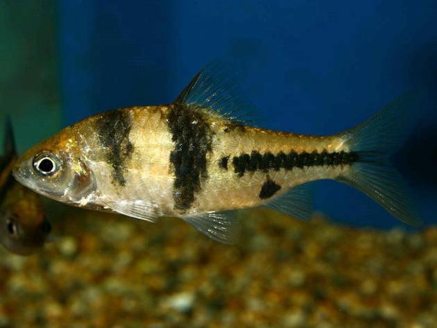 ikan hias air tawar super spanner-babr