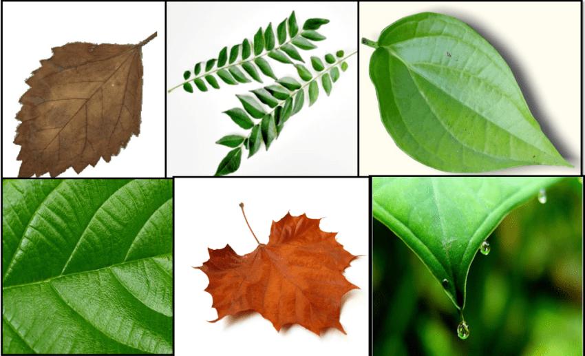 Jenis-jenis Daun Tumbuhan: Berbagai Macam Jenis Daun