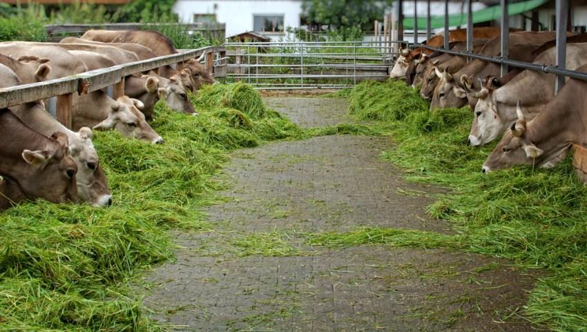berbagai jenis pakan ternak sapi untuk penggemukan