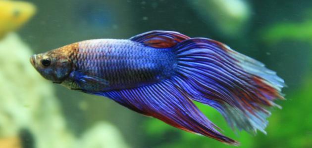 Jenis Ikan Hias Aquascape Air Tawar Termahal Guppy
