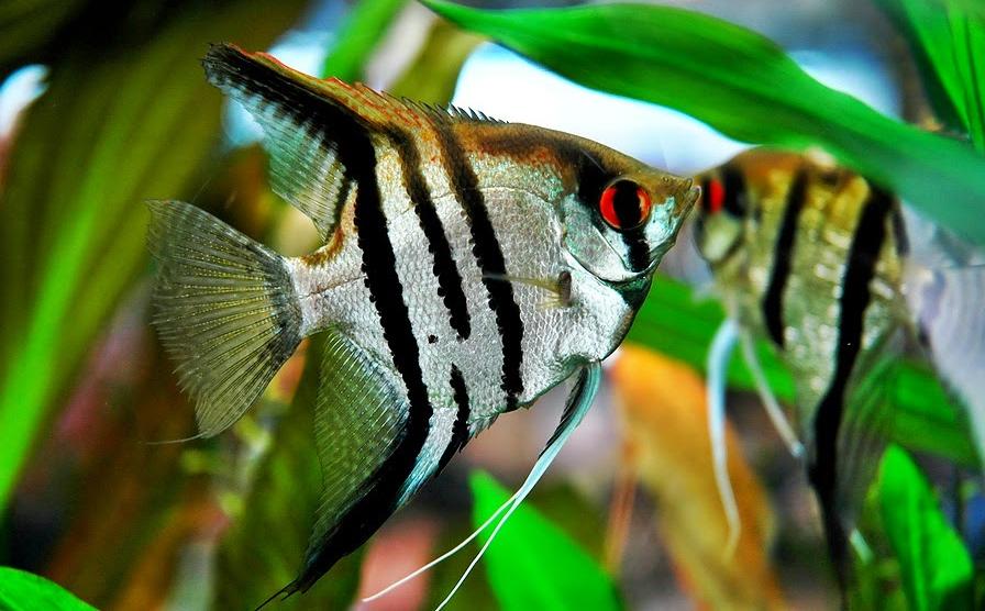 Jenis Ikan Hias Aquascape Air Tawar Termahal Manfish