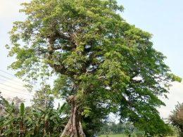 pohon kepuh