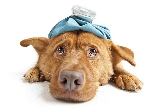 Los 8 síntomas de un perro enfermo
